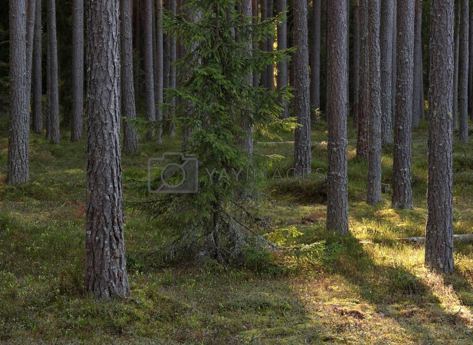 Royalty free image of Pine forest in the sunny summer day.  by phortcach
