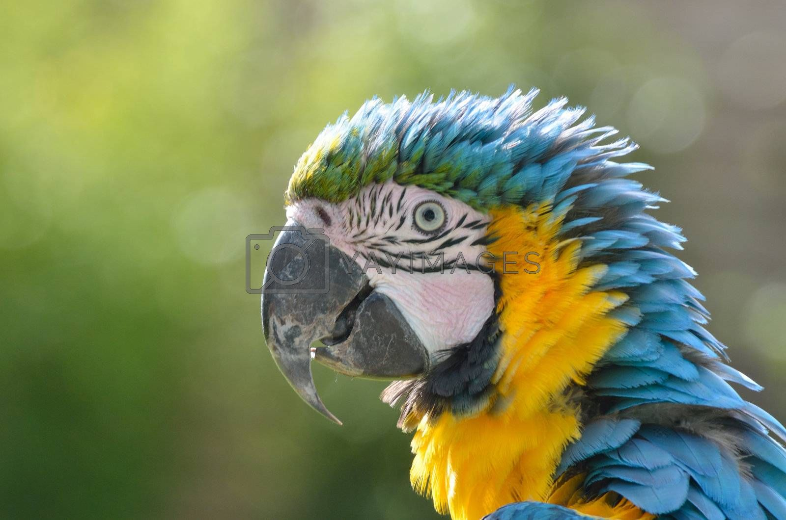 Blue and yellow Parrot Head