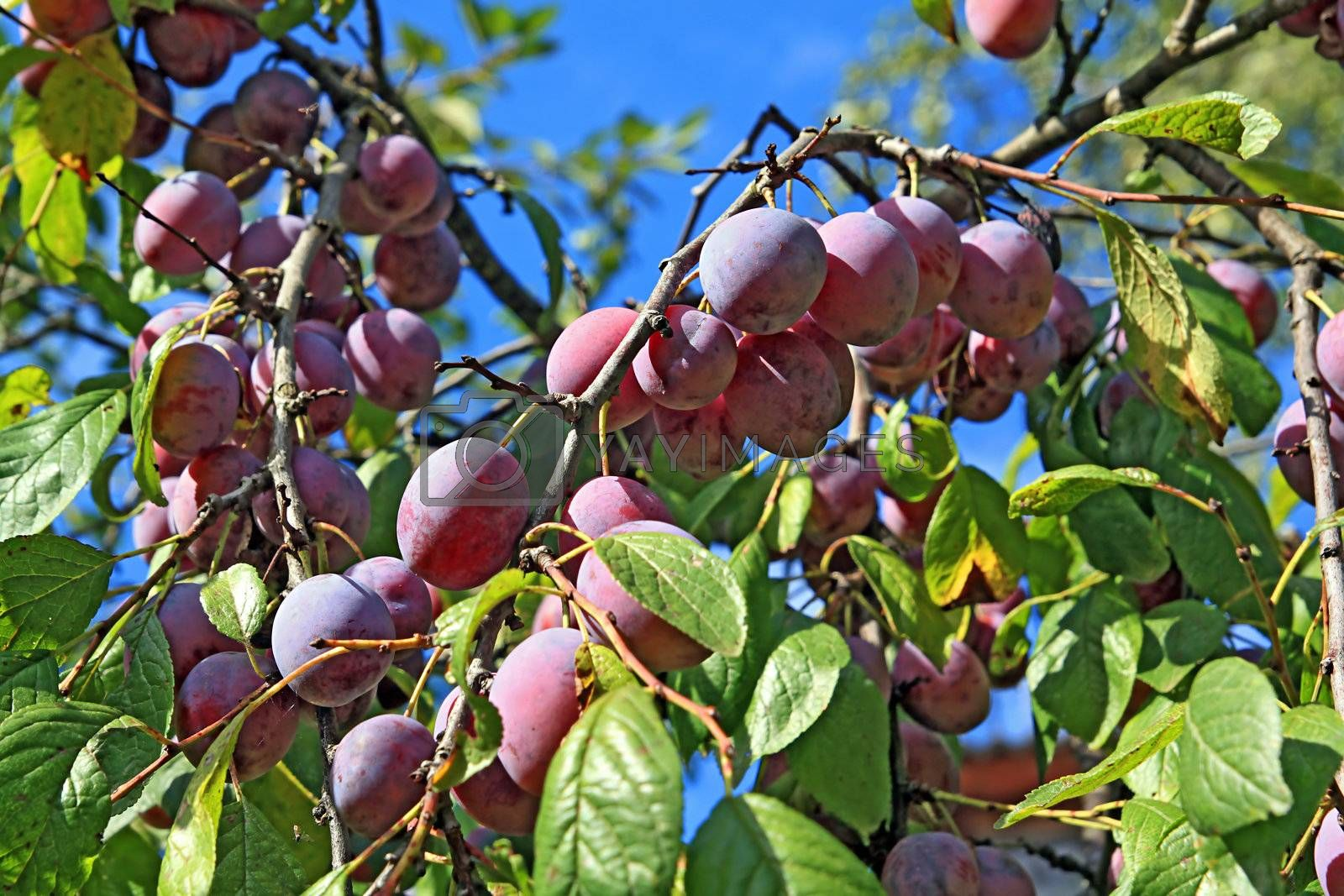 ripe plum on wood branch