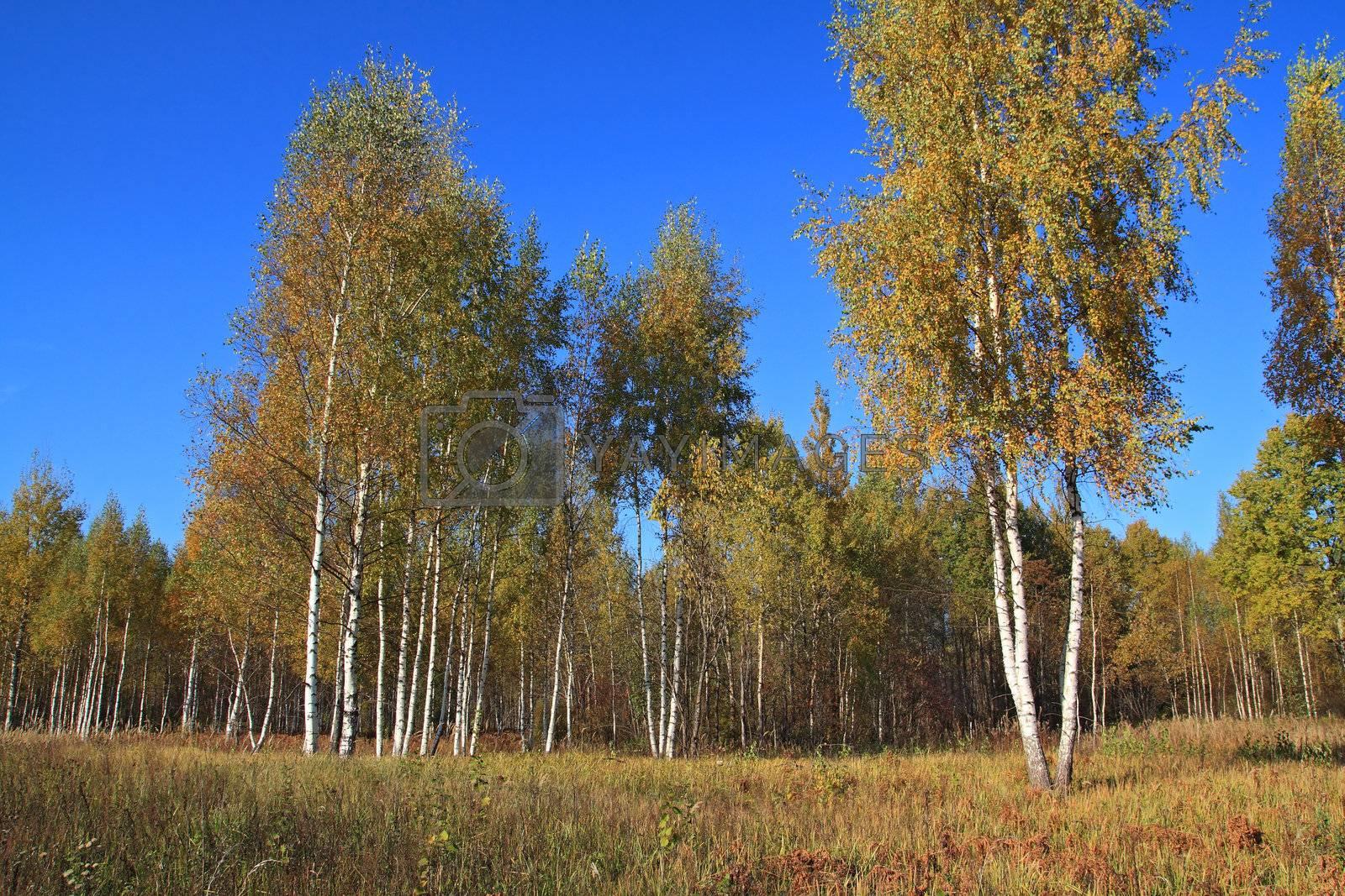 autumn birch wood on blue background