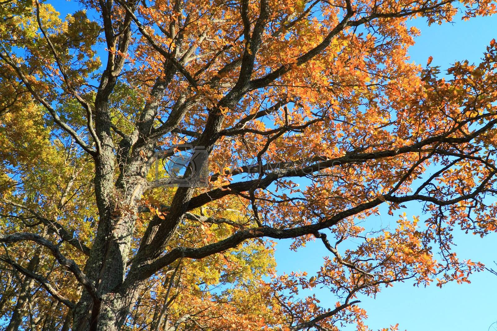 autumn branches of the oak on  blue background