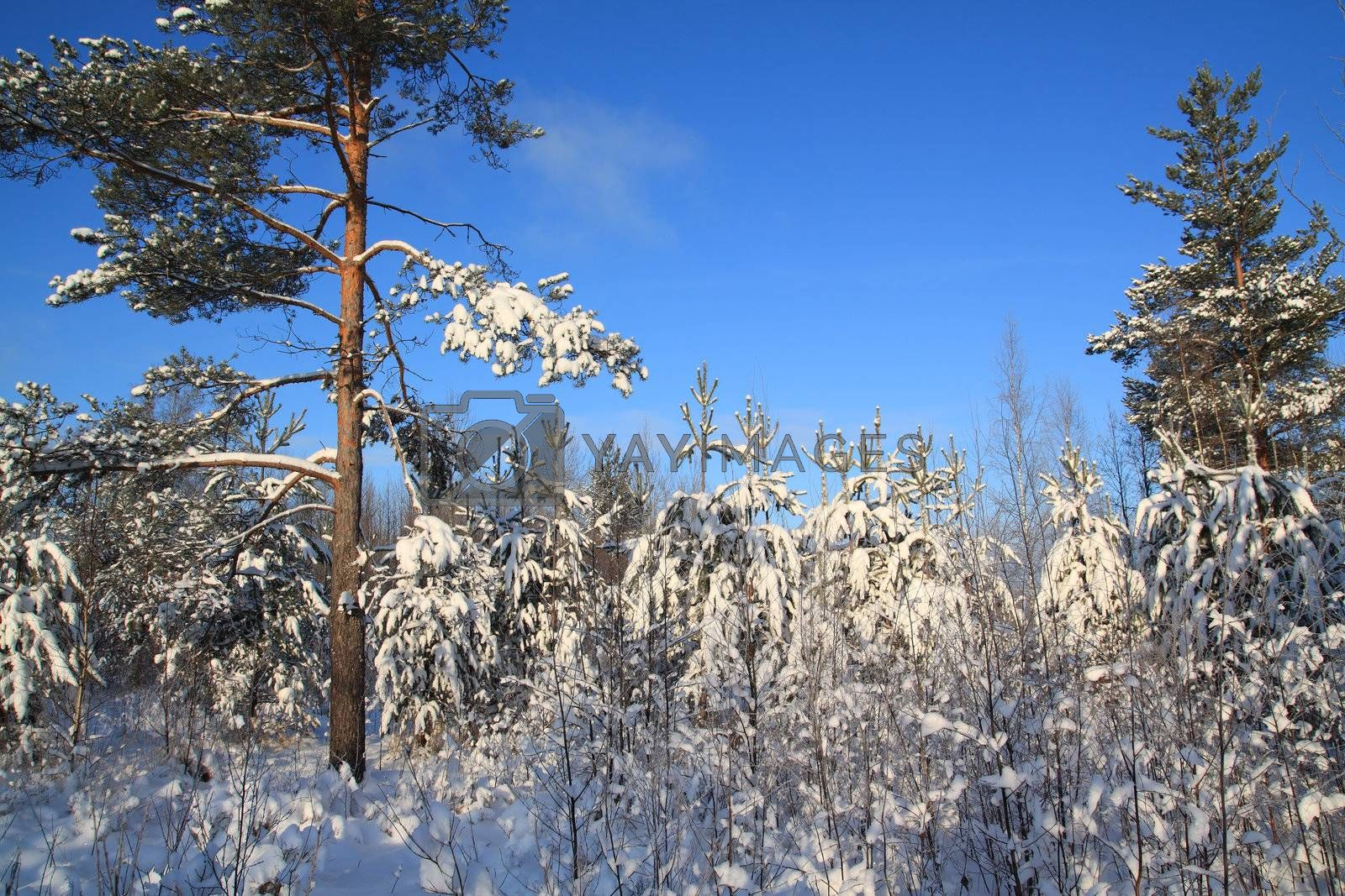 pines in snow on celestial background