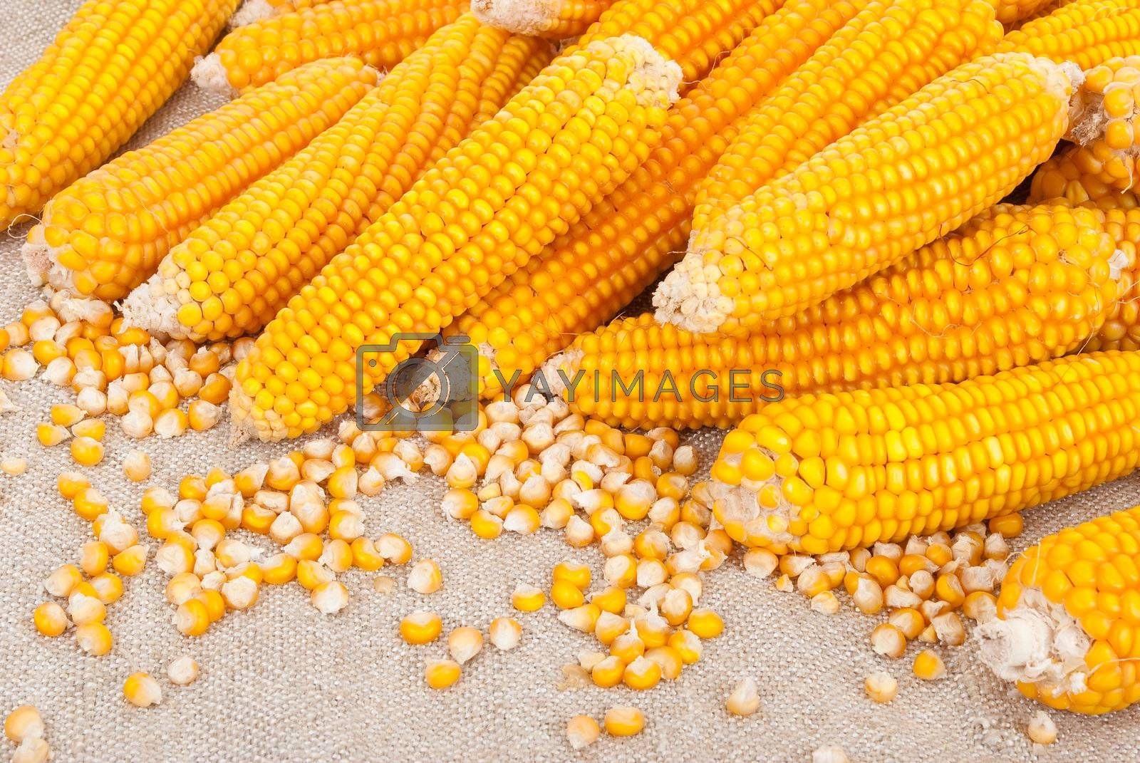 Ripe ears of corn on a background of burlap