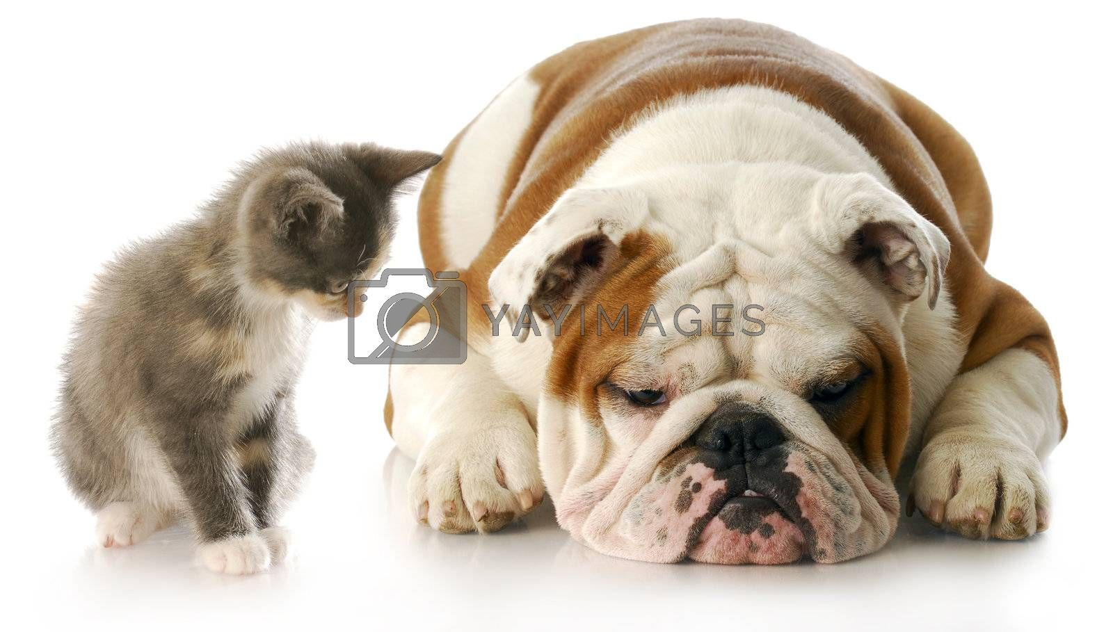 kitten looking down at english bulldog puppy that is laying down sulking with reflection on white background