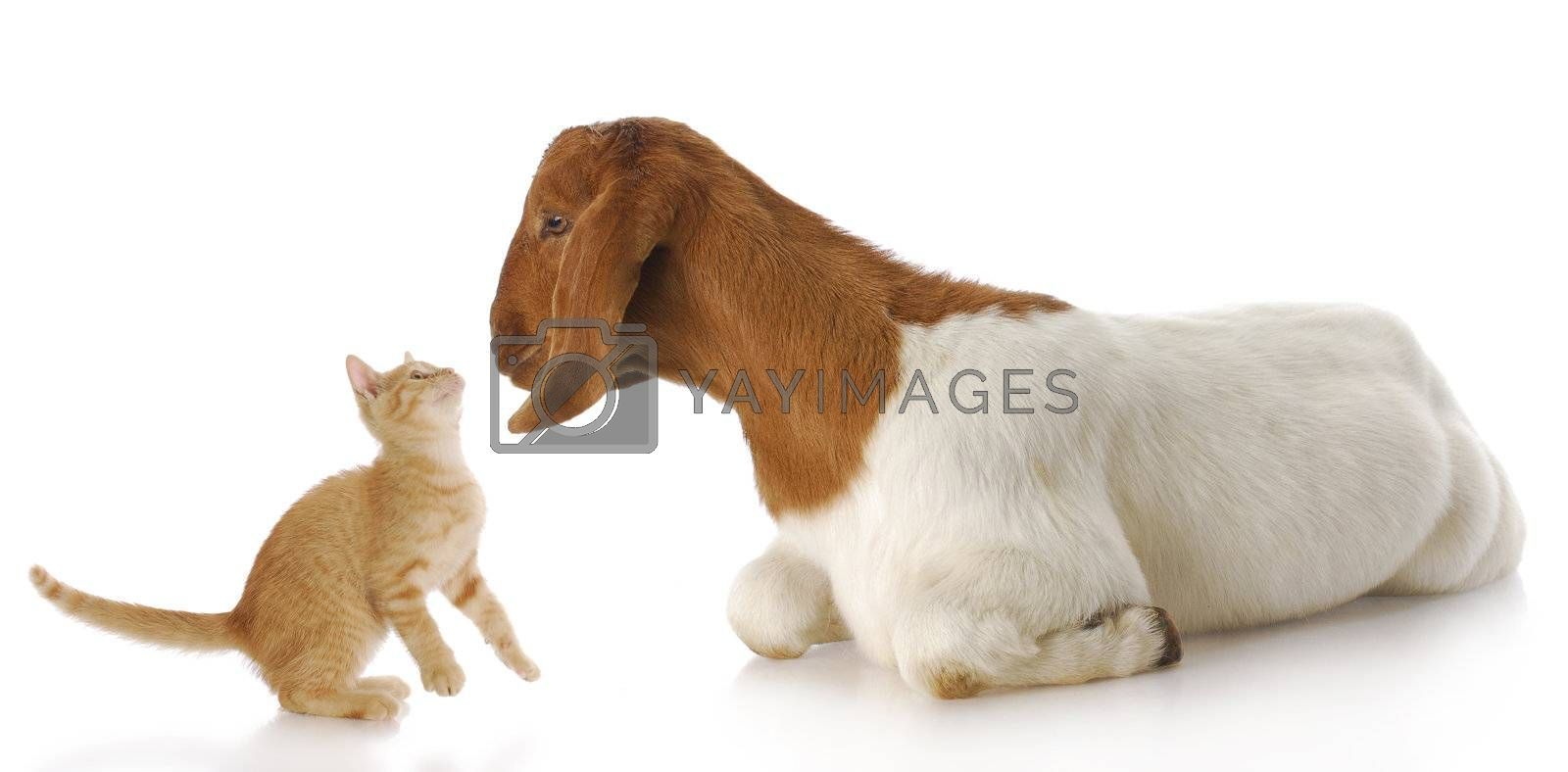 cute kitten and goat doeling interacting with each other with reflection on white background