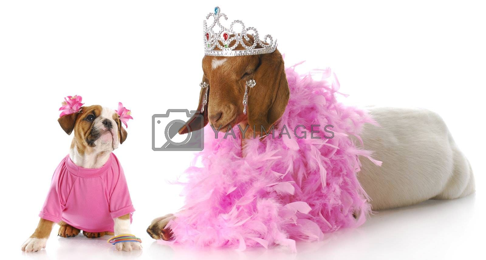 female bulldog puppy in pink looking up at goat dressed like a princess with reflection on white background