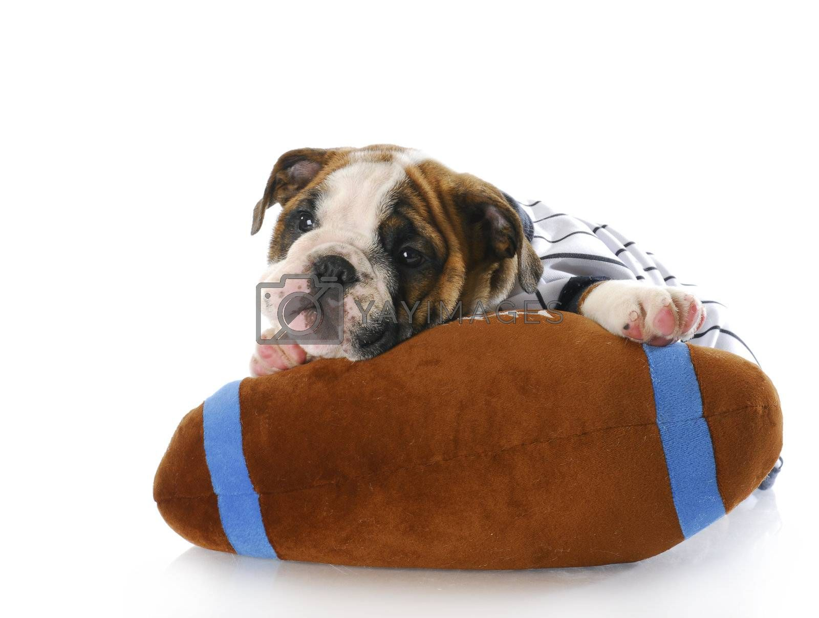 adorable eight week old english bulldog puppy laying with stuffed football with reflection on white background