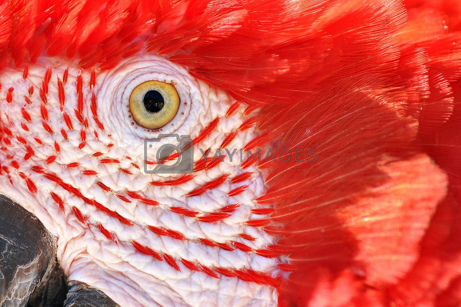 A closeup of the face of a scarlet macaw.