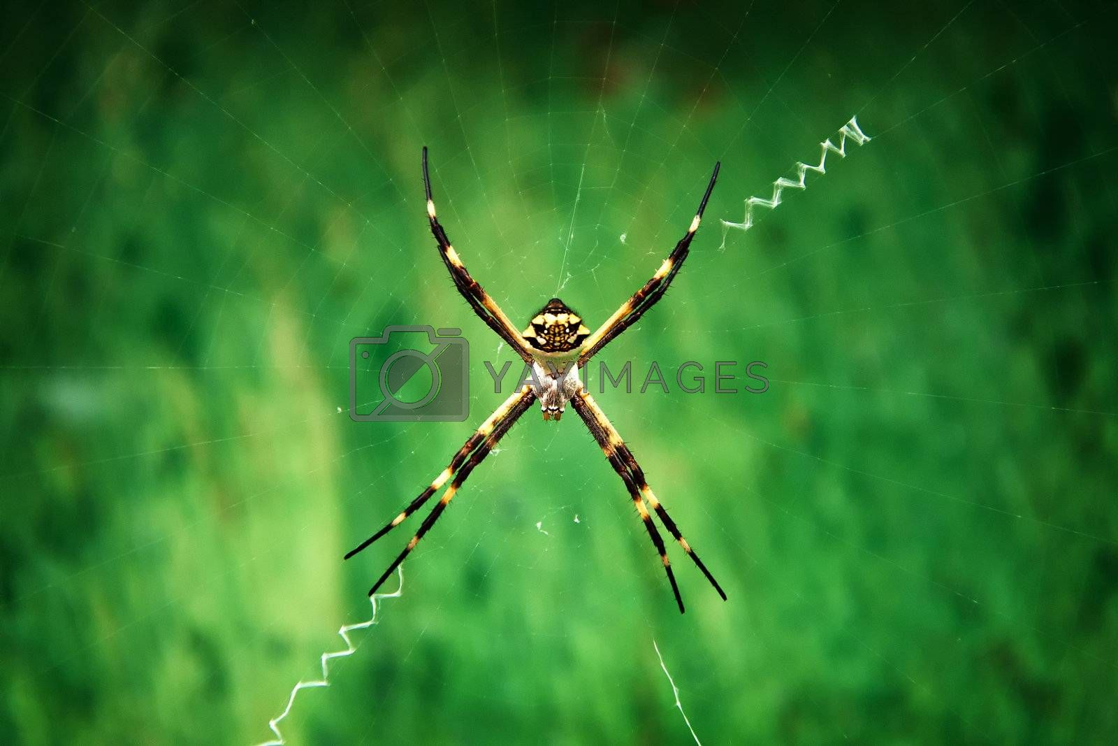 A closeup shot of an Argiope Argentata on a green background.