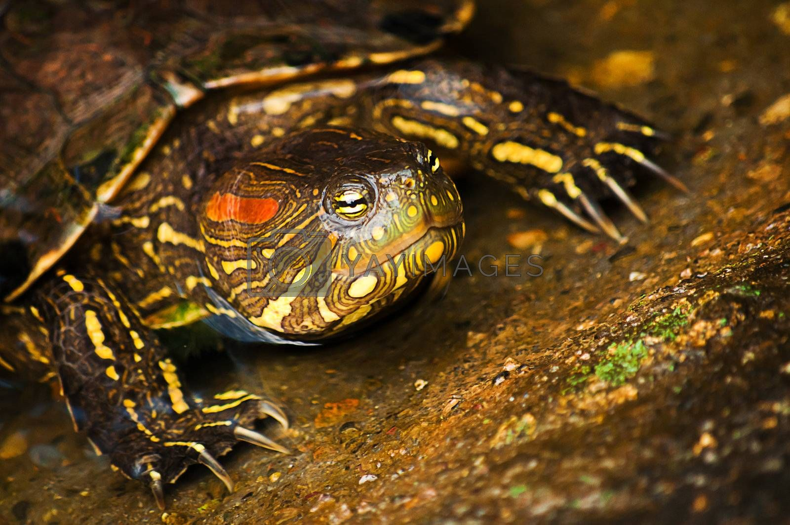 A red-eared slider turtle coming out of the water.