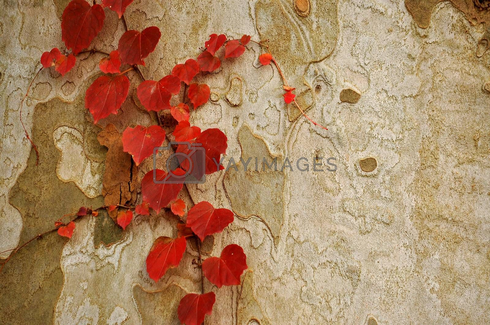 An abstract photo of red leaves growing on the brownish grayish bark of a tree.