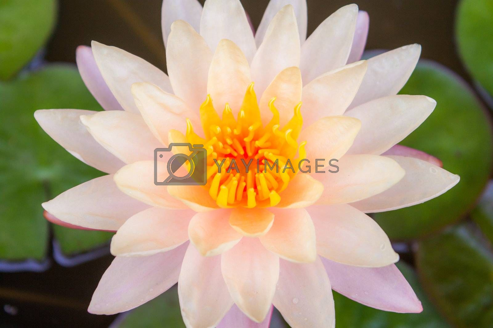 pink water lily with lotus leaf