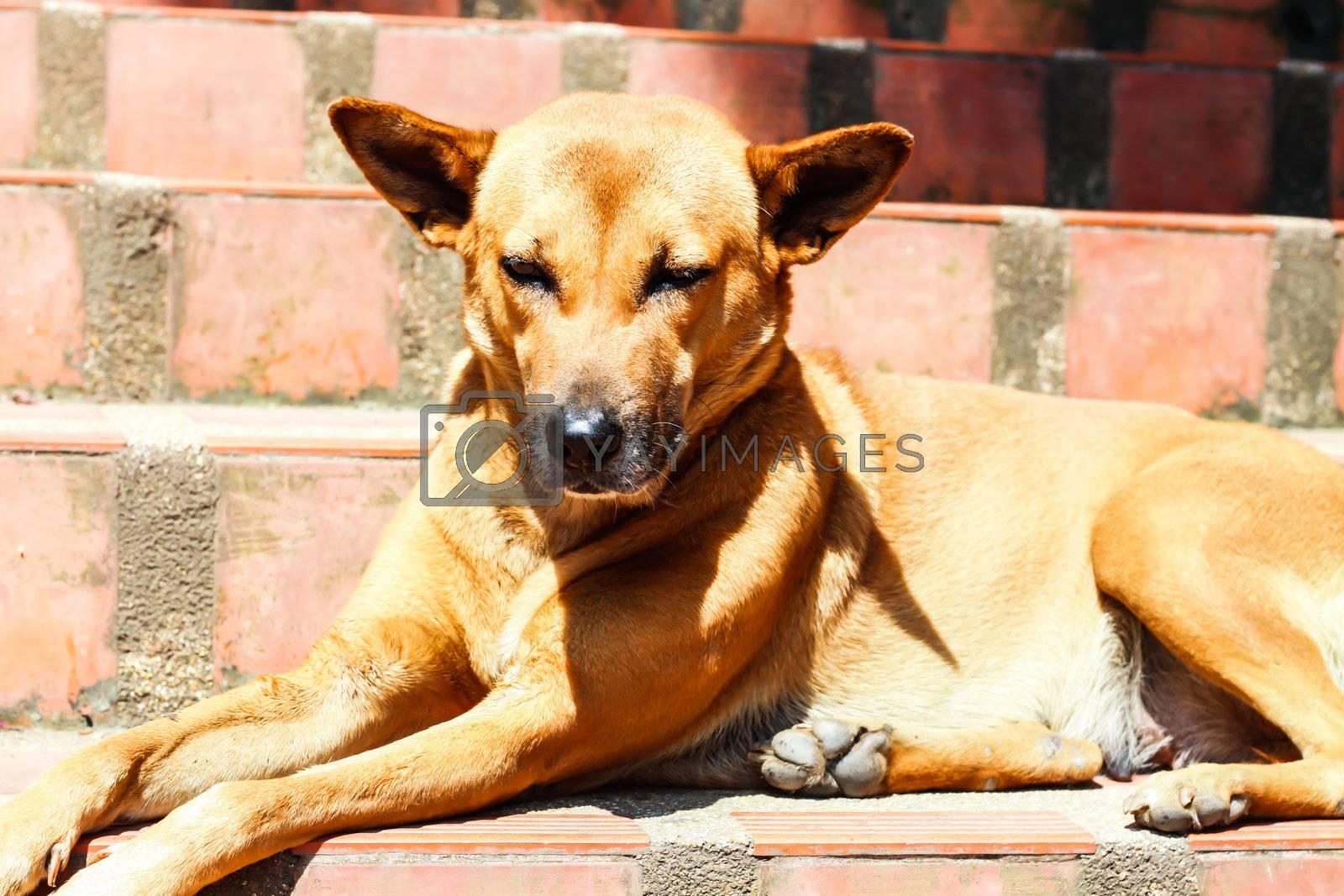 A Sleepy Brown Dog in Sunshine Day