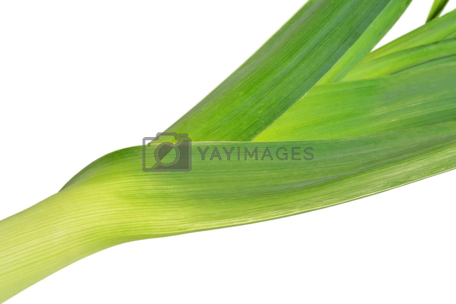 One fresh leek isolated on white background.