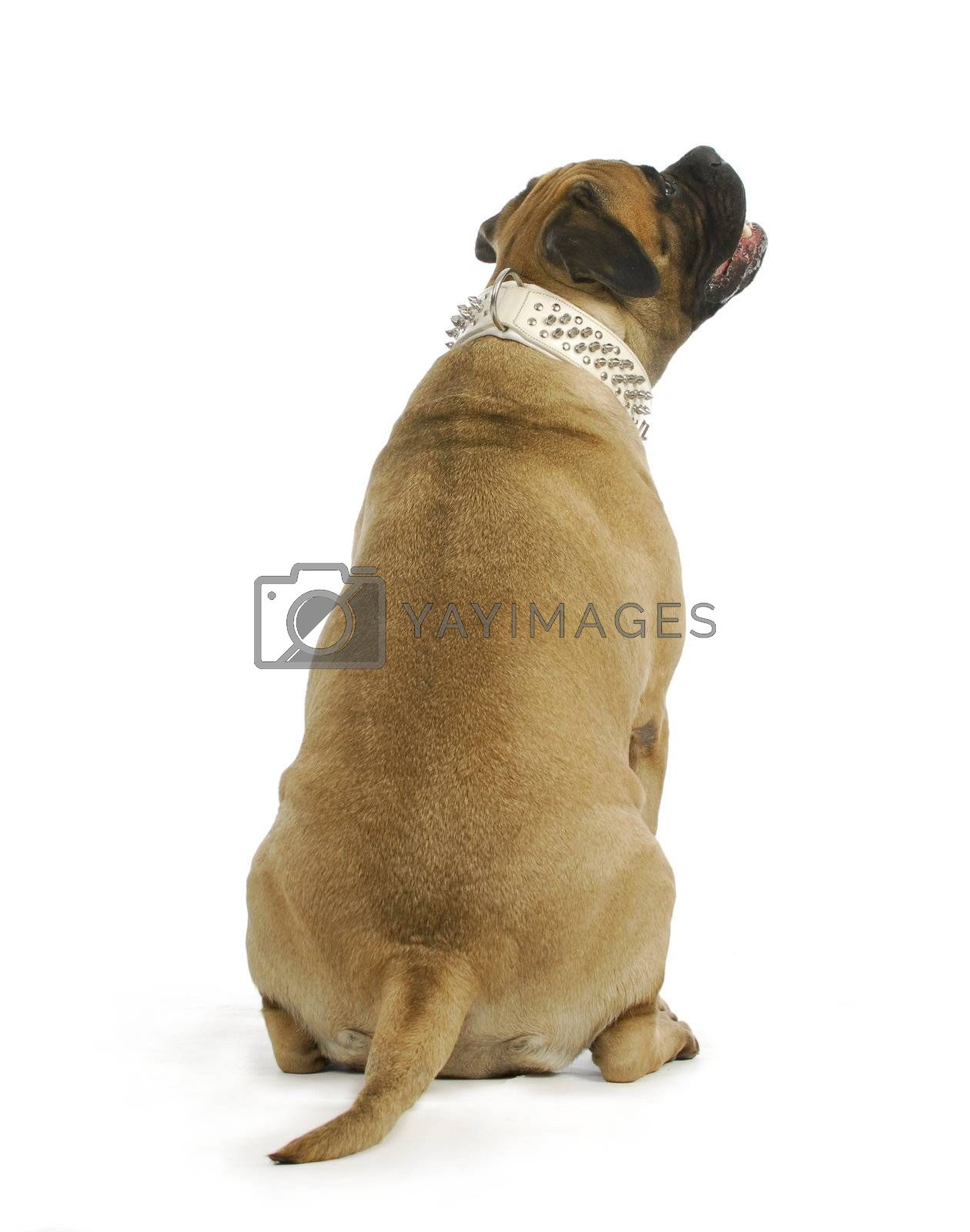 dog looking up - bull mastiff sitting with back to viewer looking up