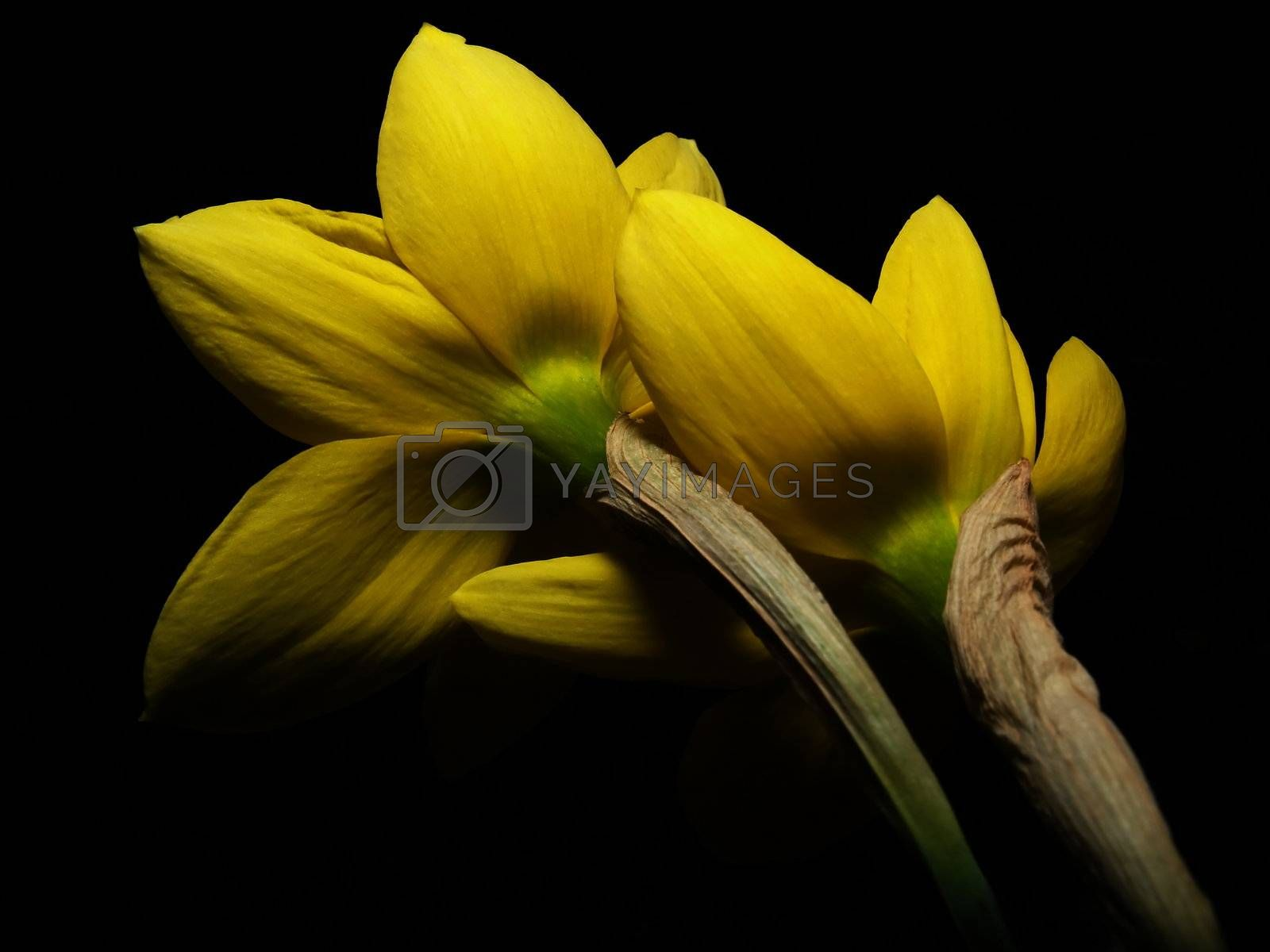 Two narcissus hugging each other.