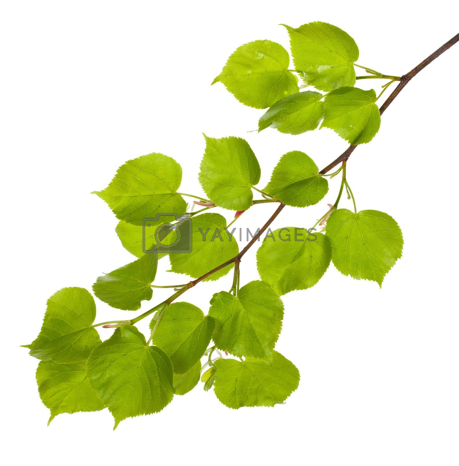 close-up linden branch with new leaves, isolated on white