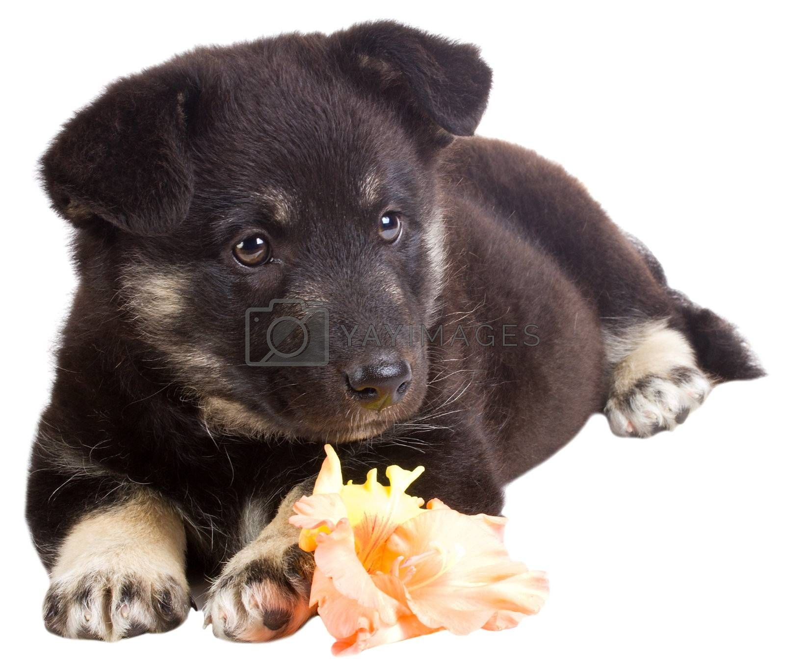 close-up puppy with flower, isolated on white