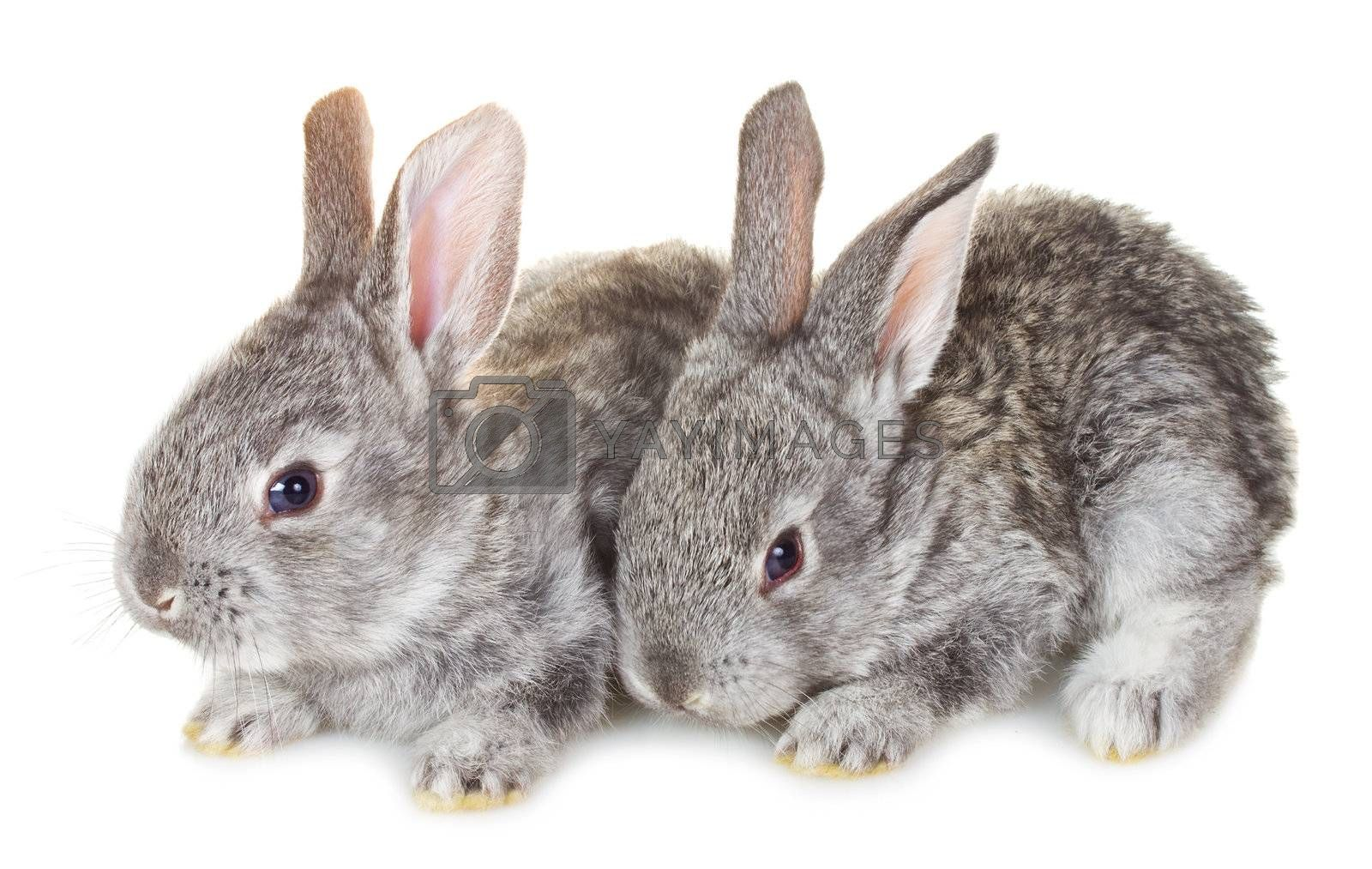 close-up two small gray rabbits, isolated on white