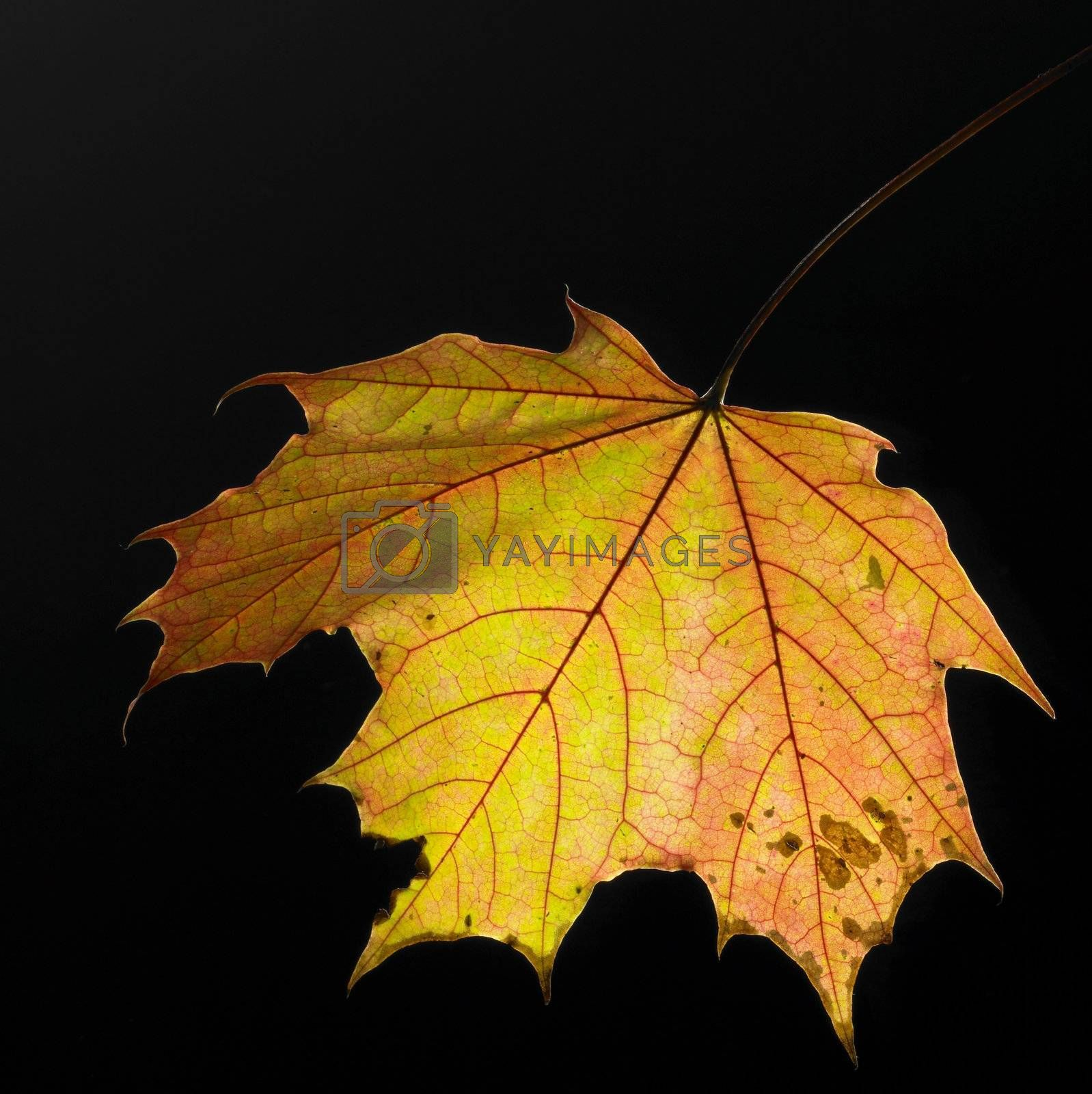studio shot of a warm colored autumn leaf in gradient back