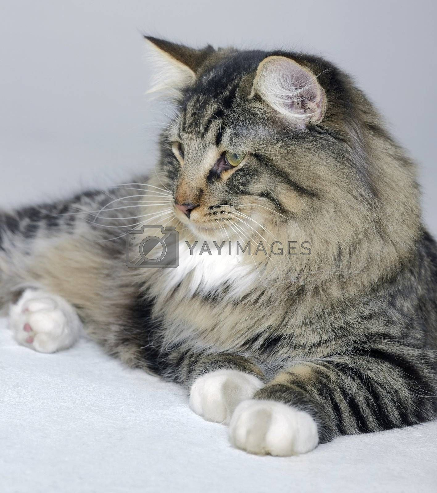 young Norwegian Forest Cat resting on the ground in light grey back