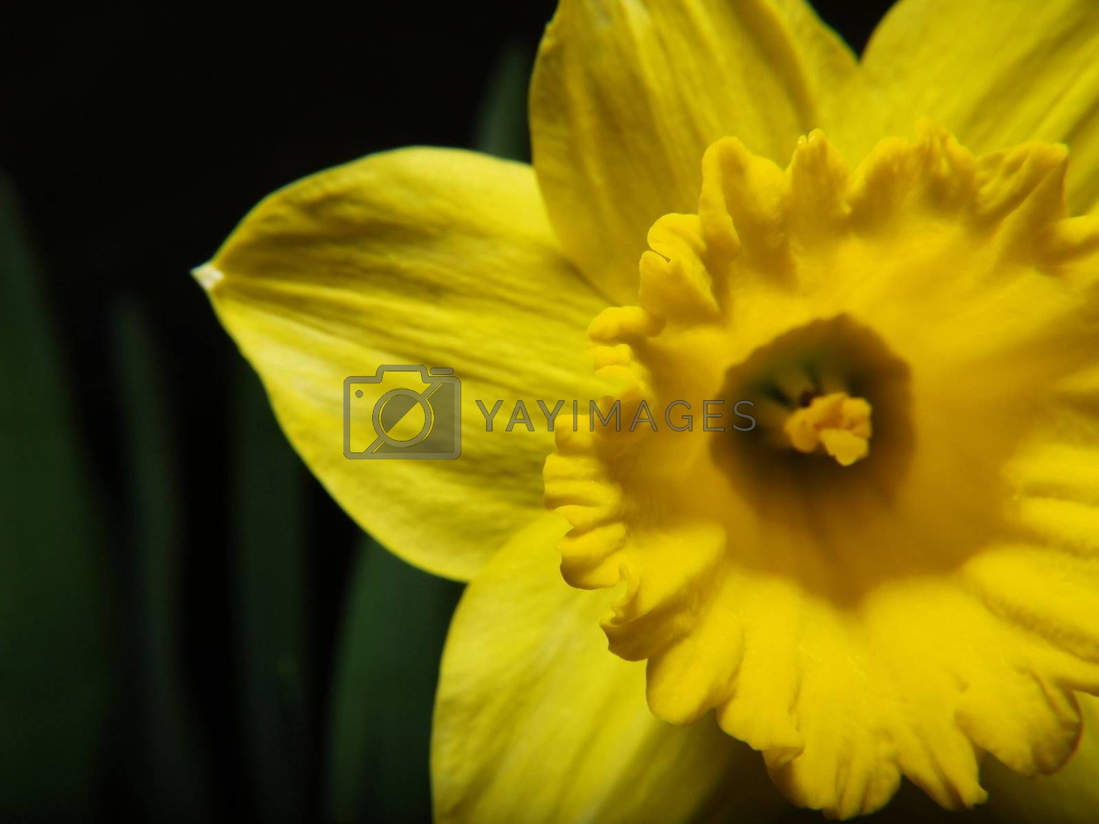 Narcissus with green leaves at the background.