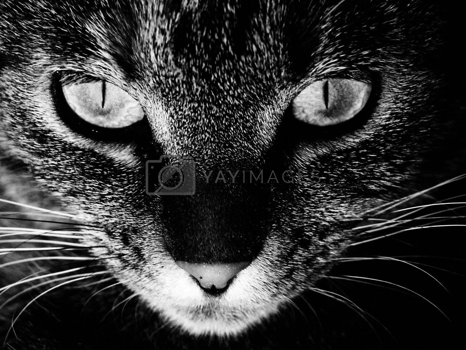 The face of a cat in black and white.