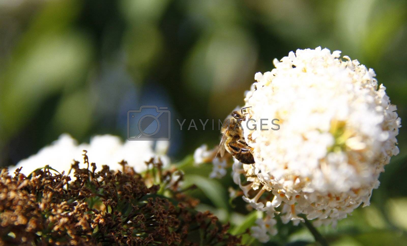 bee feeding off the flowers of the buddleja bush