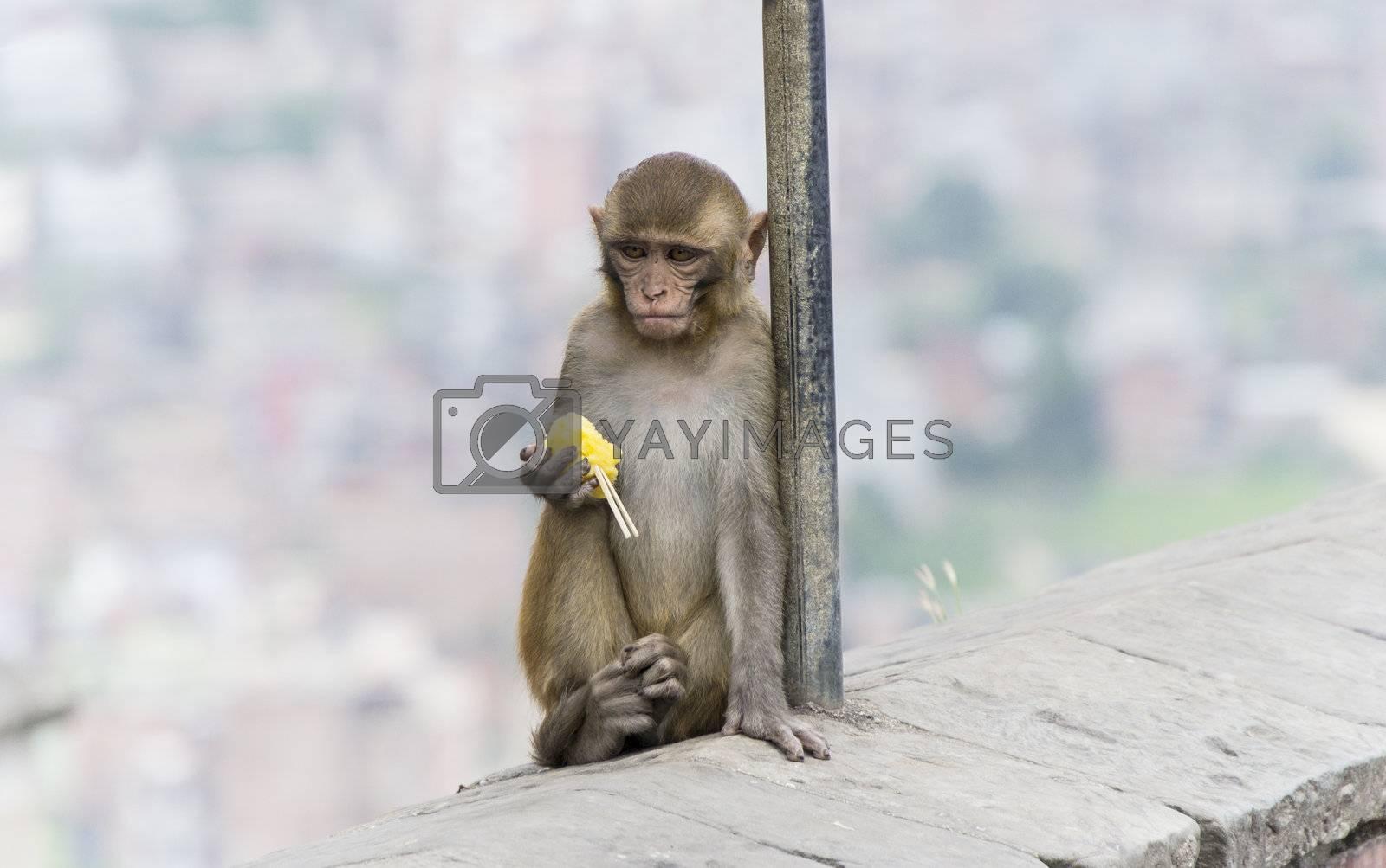 single monkey in nepal sitting on wall. vertical image.