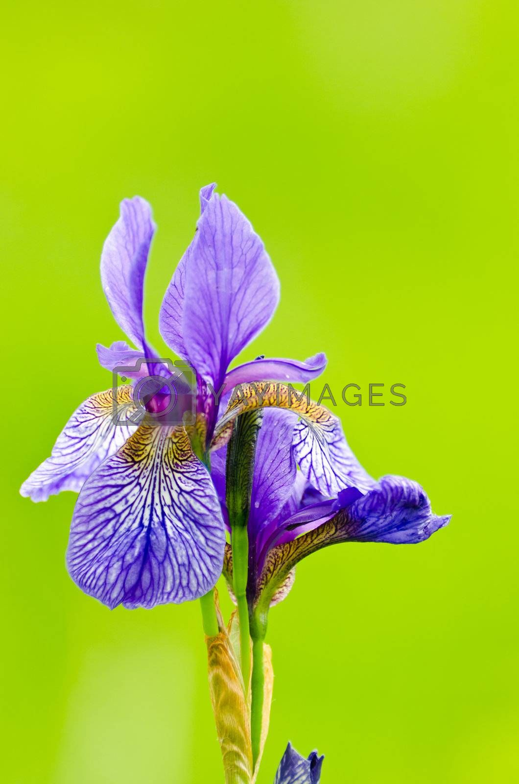 Purple bearded iris on blurred green background