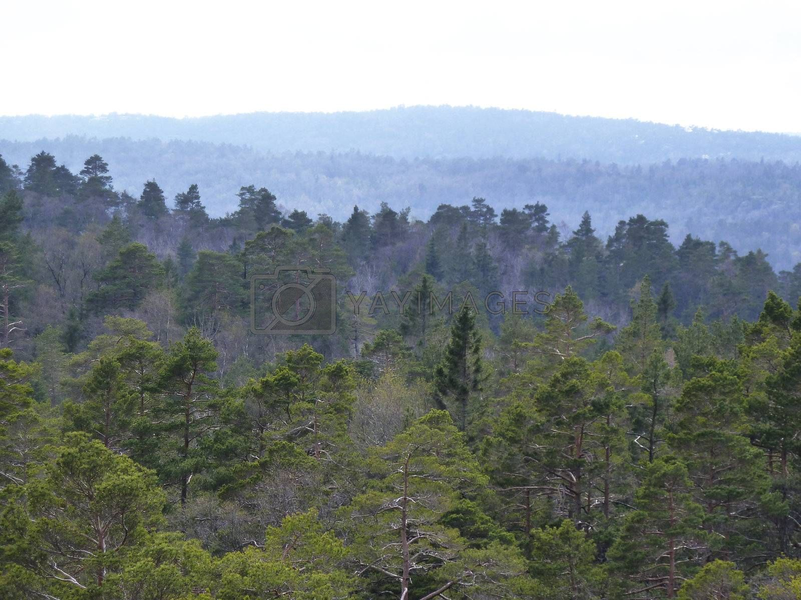 view over conifer forest in south norway