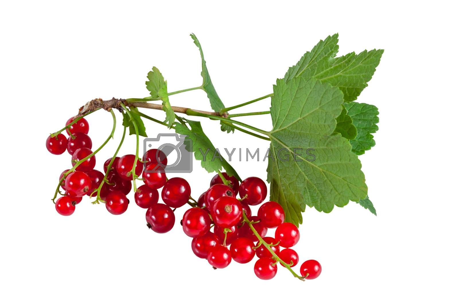 Branch of berry red currants with leaves isolated on a white background