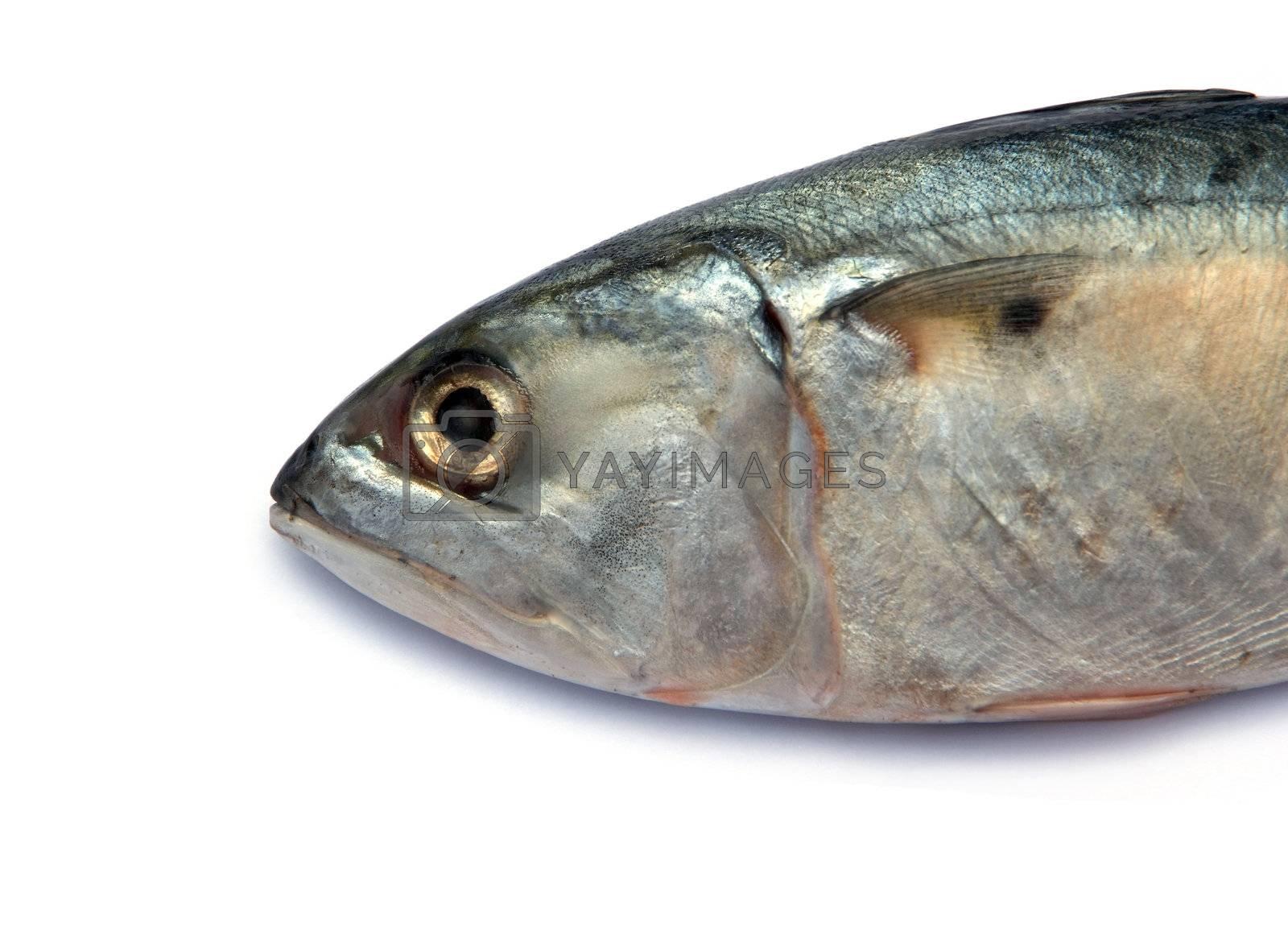 Fresh mackerel fish  by opasstudio