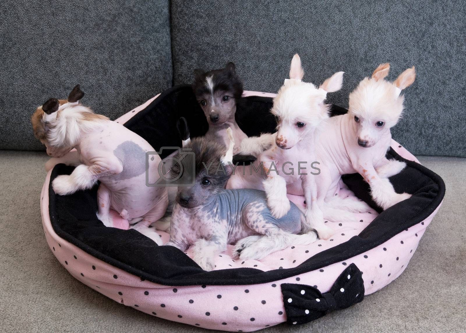 chinese crested puppy dogs by rusak