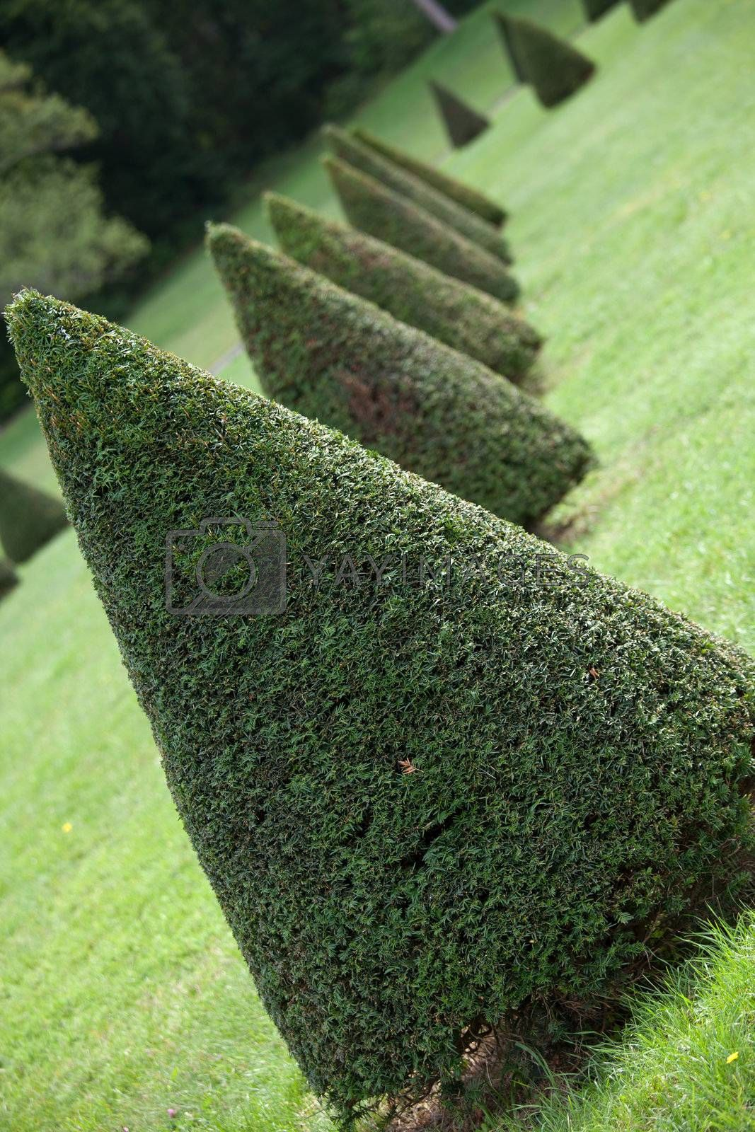Line of cone evergreen box tree bushes in cultivated park by SergeyAK