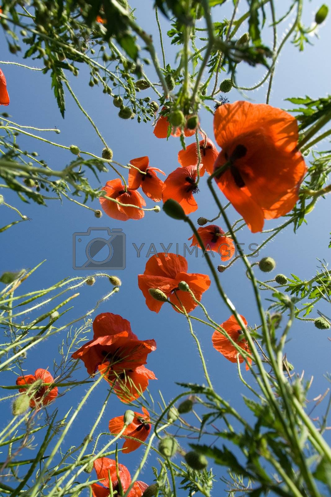 Red poppies on the blue sky background  by SergeyAK
