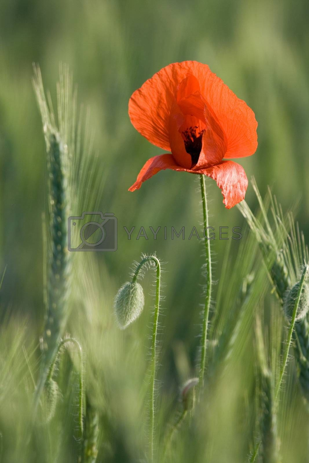 Ear of cereals and one red poppy close-up by SergeyAK