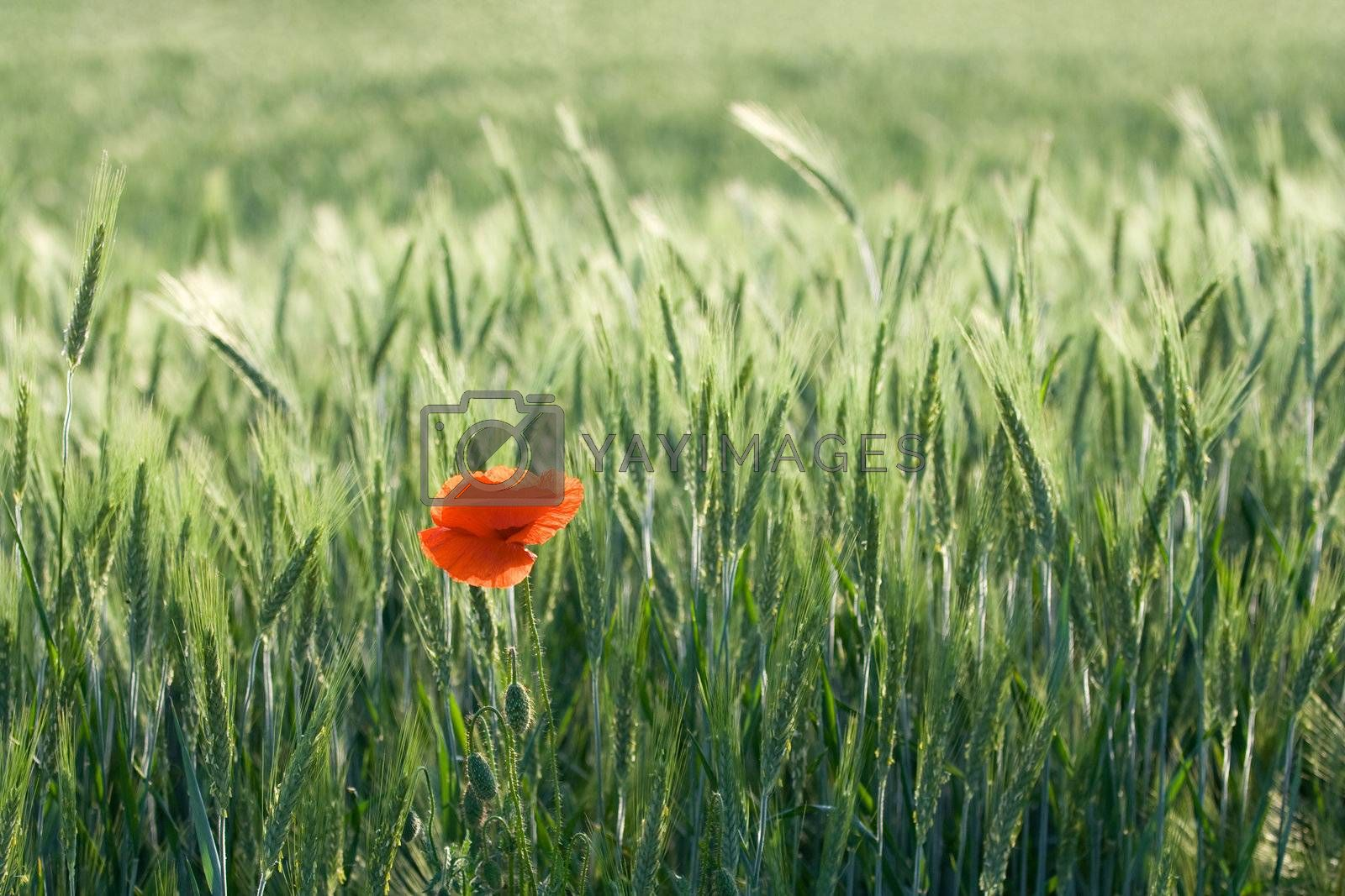 Single red poppy among cereals by SergeyAK