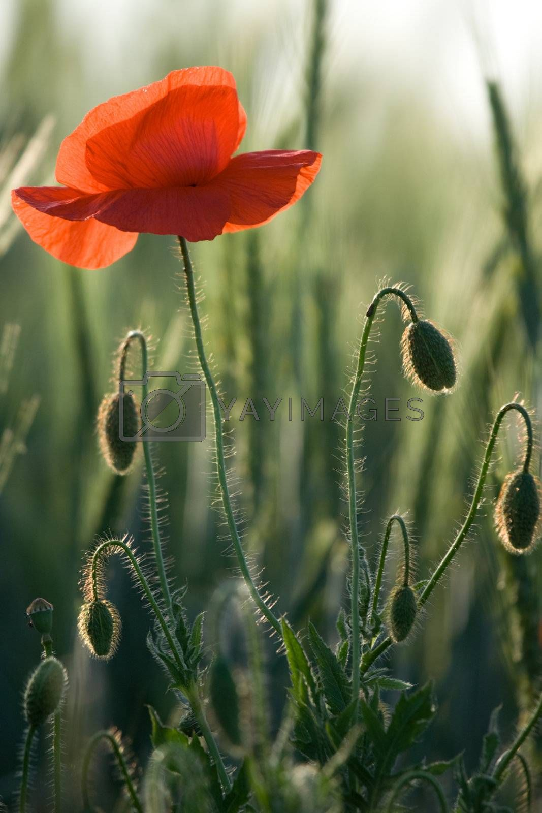 One red poppy and poppyheads into the young cereals