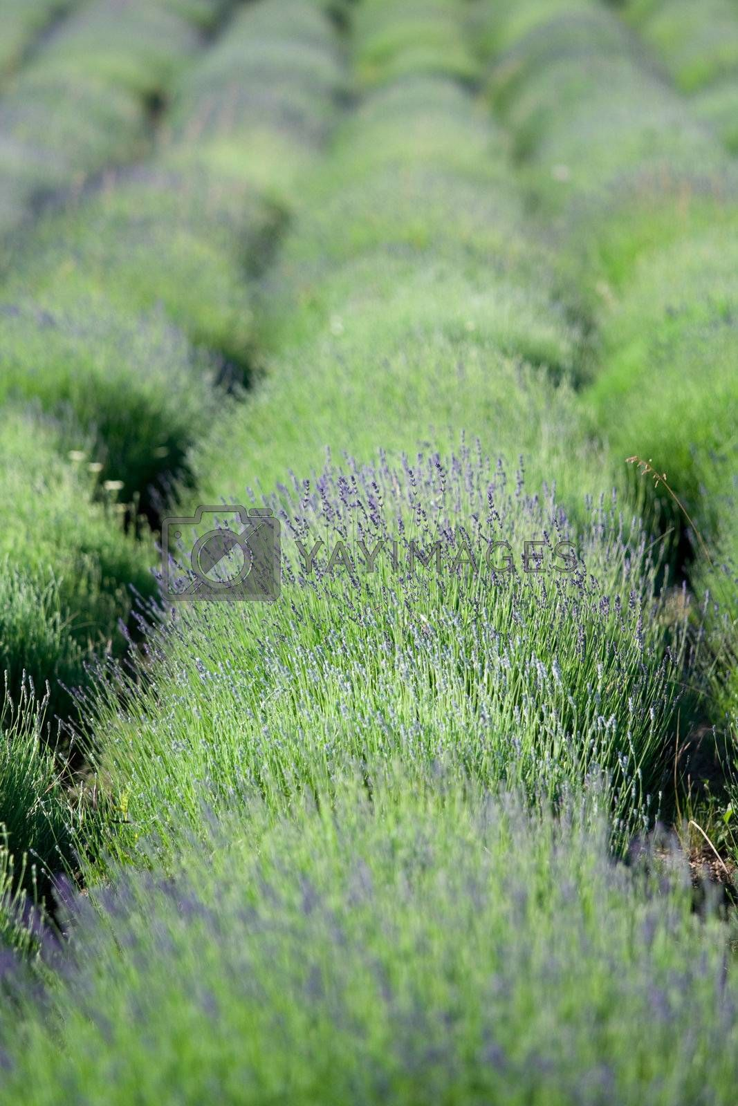 Flowering lavender rows on the plantation