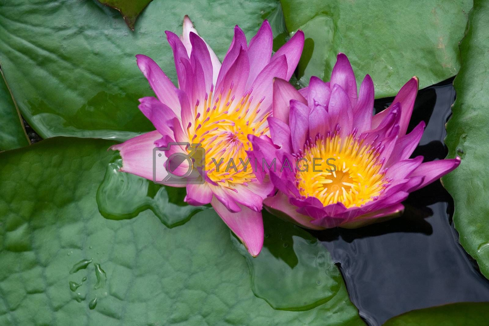 Violet lilies Nymphaea on the water surface  by SergeyAK