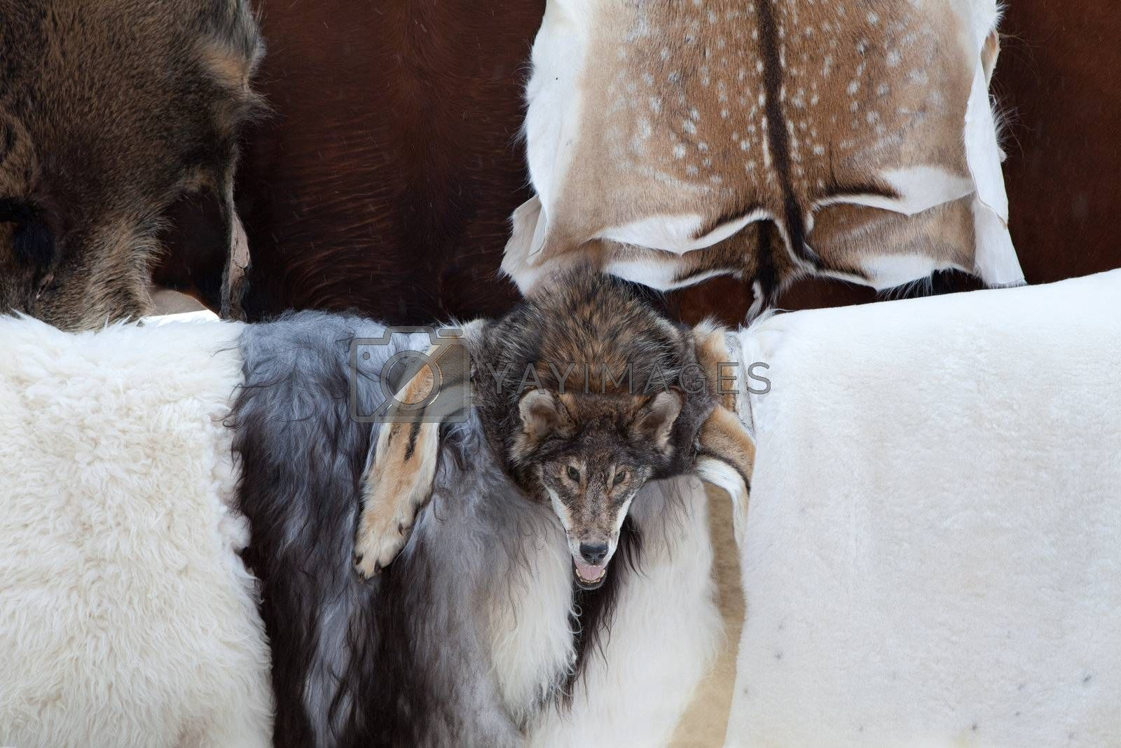 Wild animal fur skins of killed deers, goats and wolf head selling at craft market