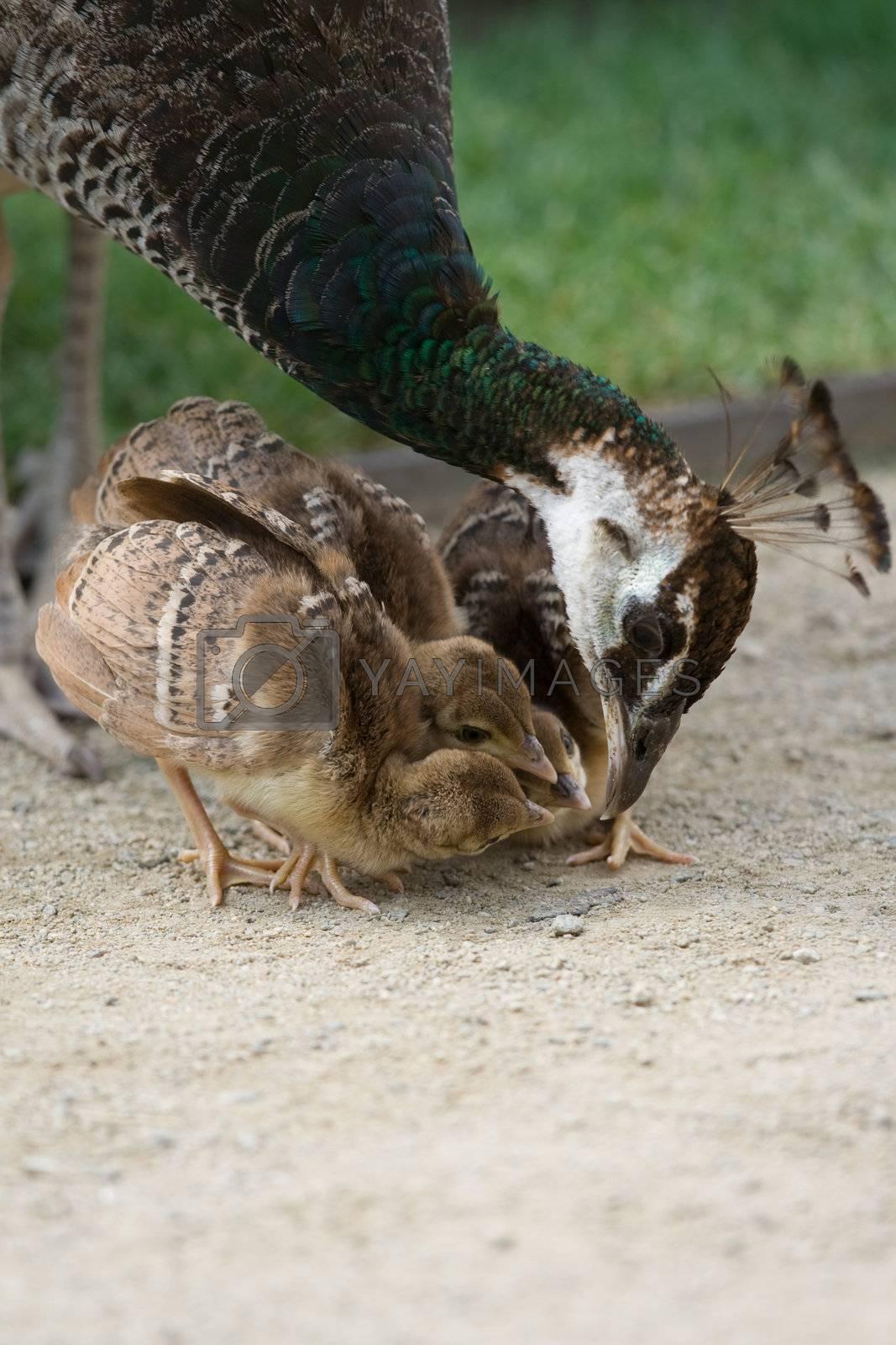 Mother bird peacock is feeding her nestlings by SergeyAK