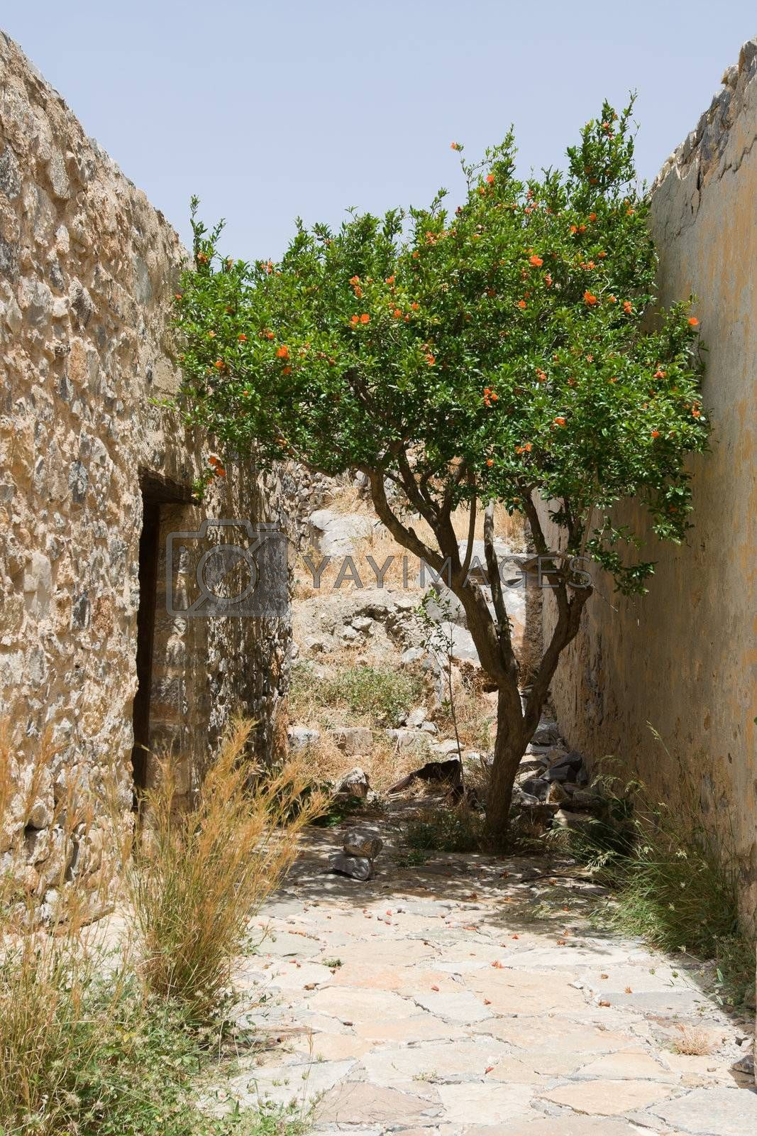 Flowering green straggled tree growing on narrow abandoned street of between stone walls of old houses in ancient town