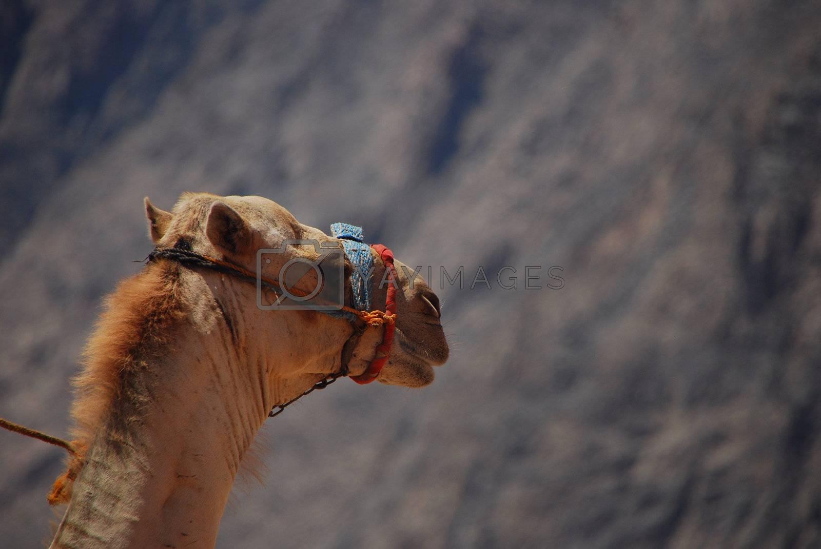 camel left by thomaseder