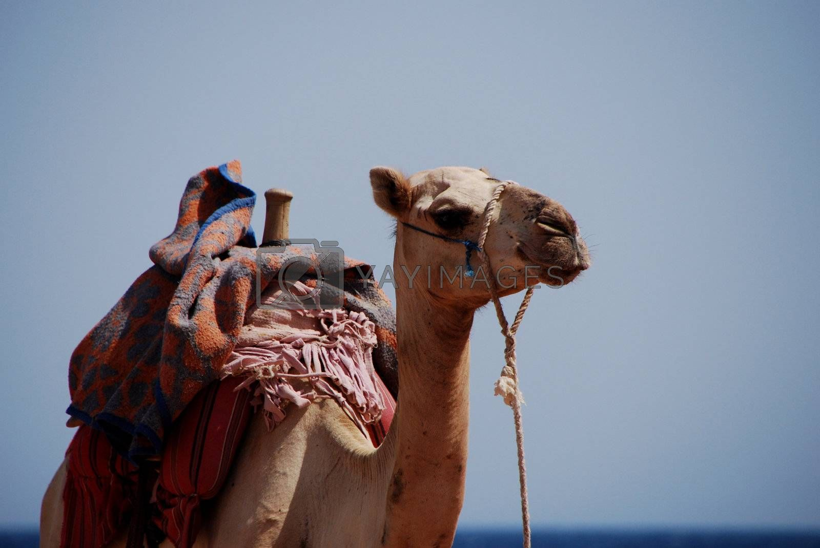 camel looks by thomaseder