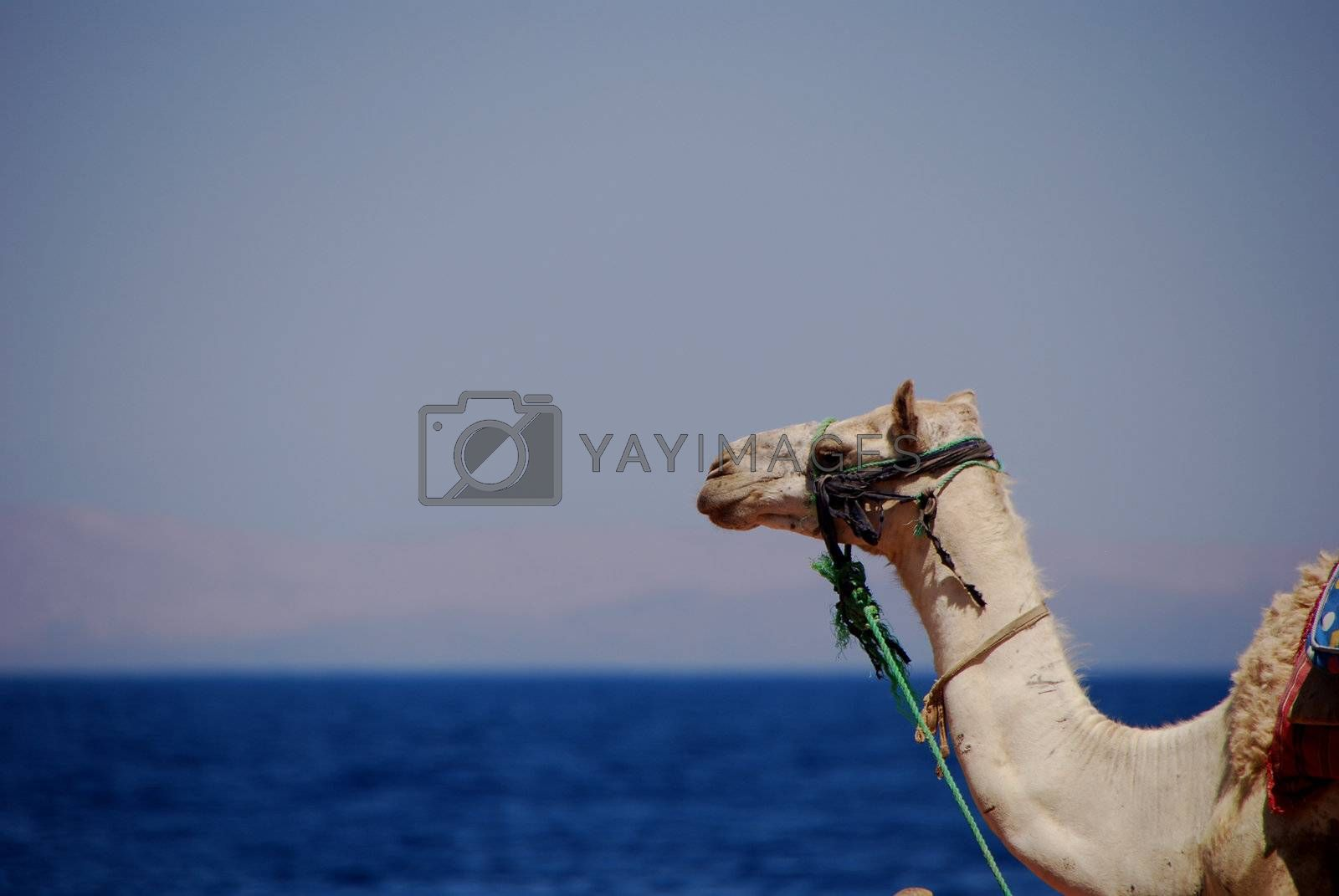 camel on the sea by thomaseder