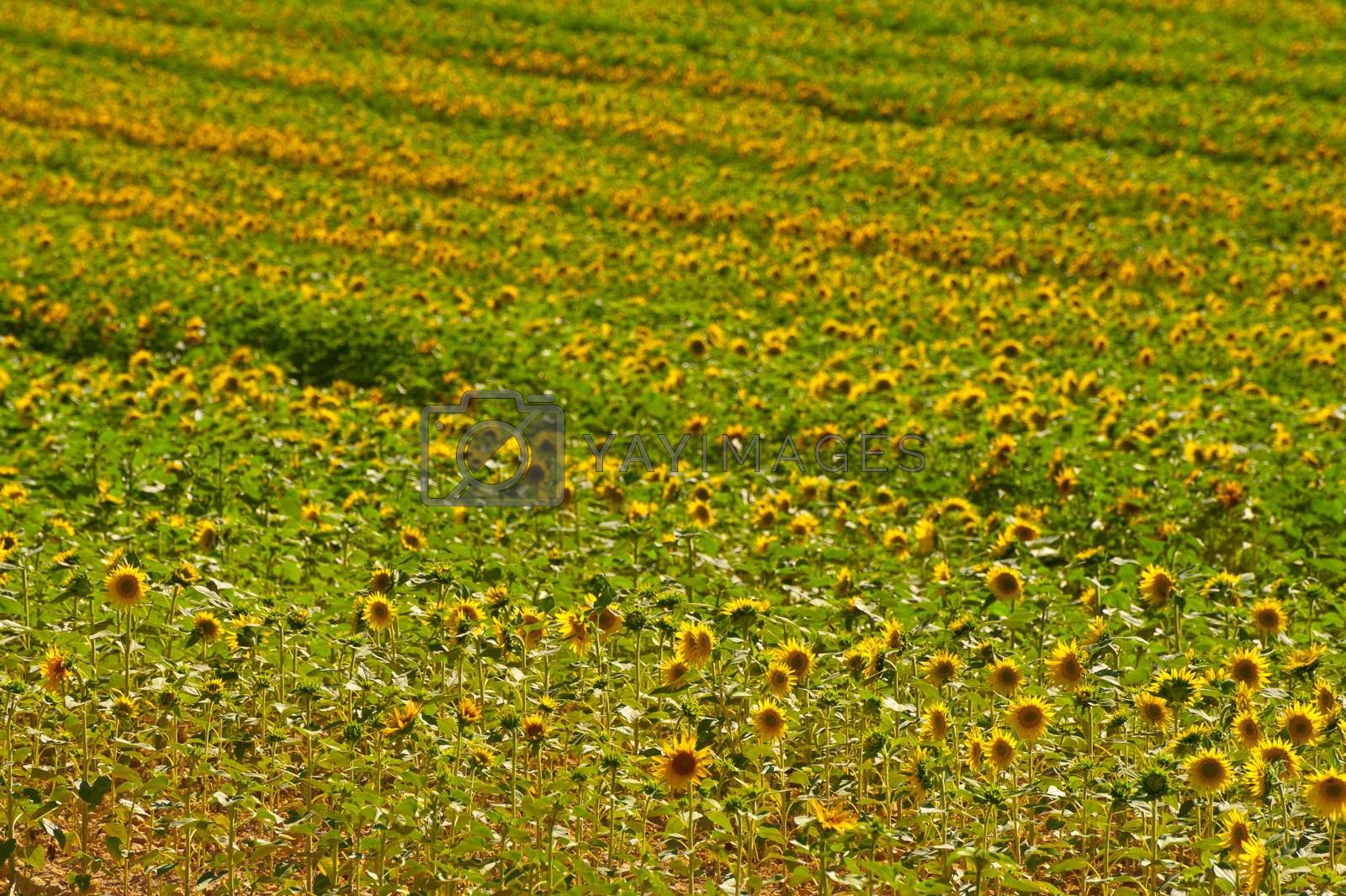 Sunflower Plantation in the French Alps