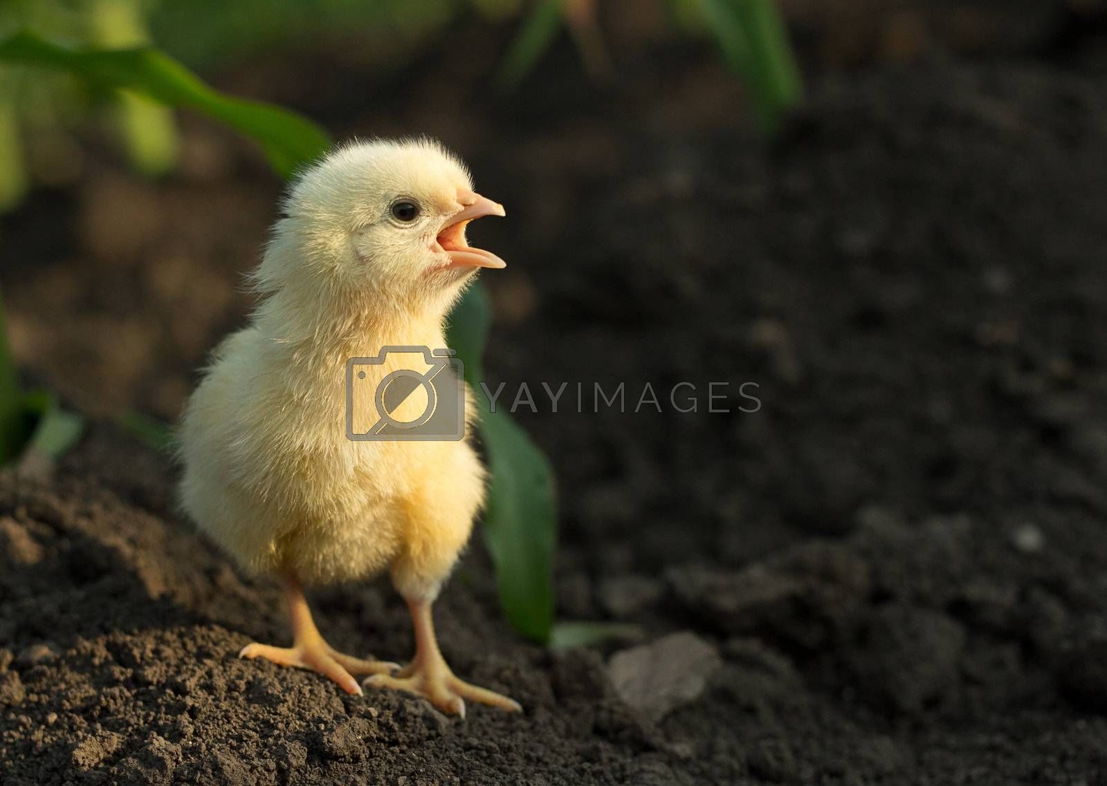 little angry chicken standing on earth and shouting