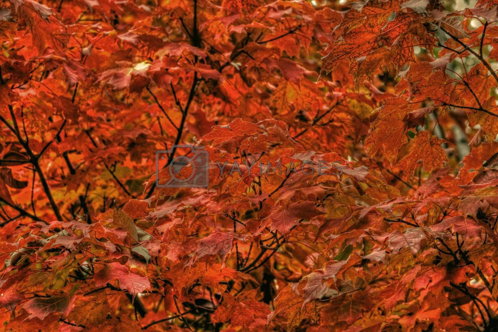 Colorful fall maple leaves viewed close up